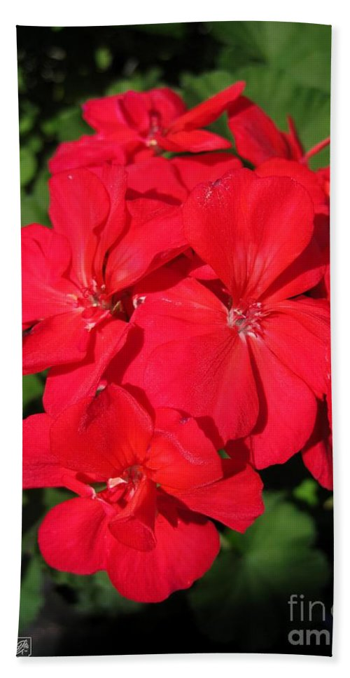 Zonal Geranium Hand Towel featuring the photograph Zonal Geranium Named Candy Cherry by J McCombie