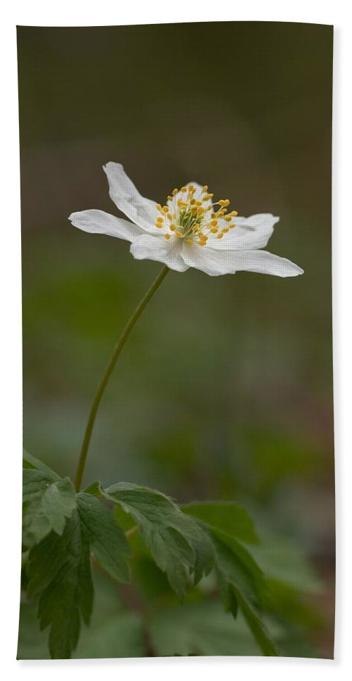 Lehtokukka Hand Towel featuring the photograph Wood Anemone by Jouko Lehto