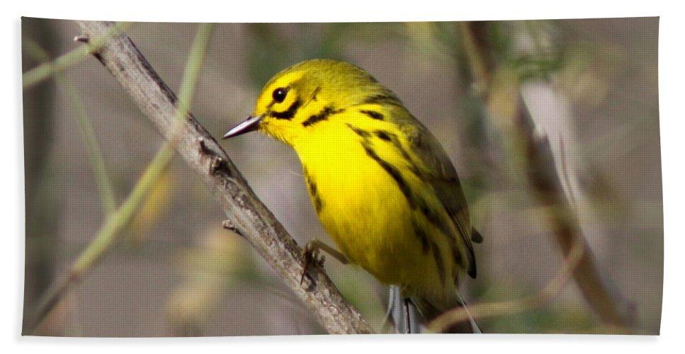 Yellow Warbler Bath Sheet featuring the photograph 0839 -yellow Warbler by Travis Truelove