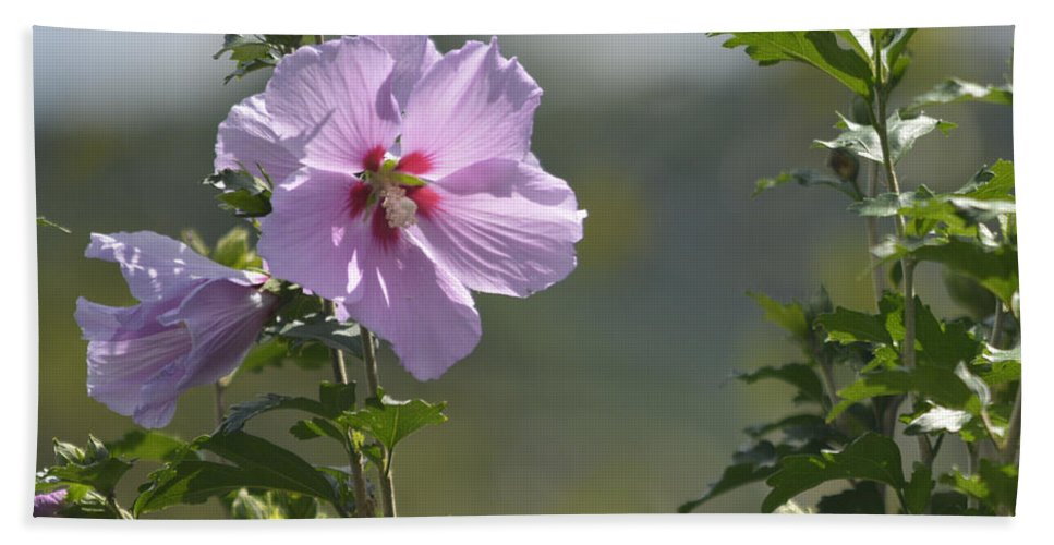 Rose Hand Towel featuring the photograph Althea Rose Of Sharon Hibiscus Bloom by Barb Dalton