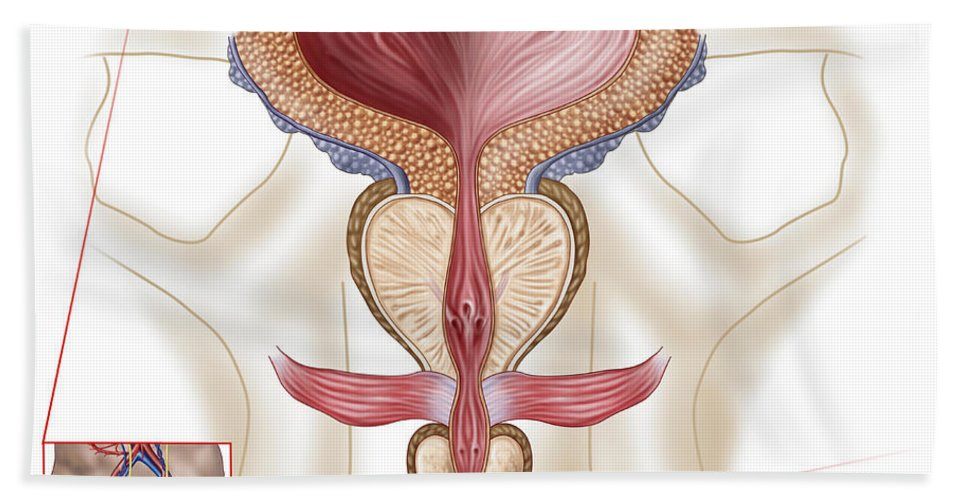 Healthcare Bath Sheet featuring the digital art Anatomy Of Prostate Gland by Stocktrek Images