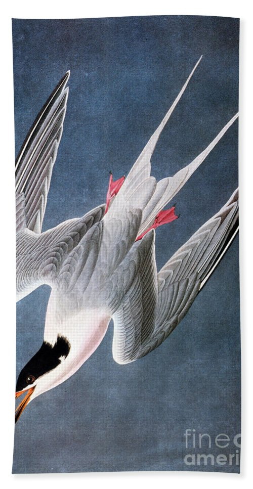 1838 Hand Towel featuring the photograph Audubon: Tern by Granger
