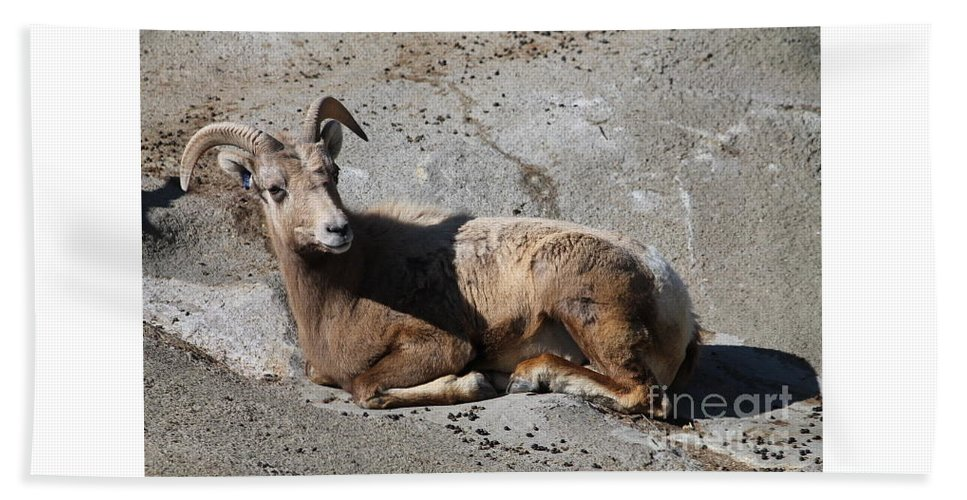Bighorn Sheep Buffalo Zoo Buffalo Bath Sheet featuring the photograph Bighorn Sheep by Katherine Ruth