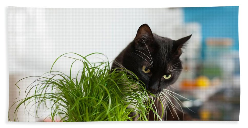 Grass Bath Sheet featuring the photograph Black Cat Eating Cat Grass by Lukasz Szczepanski