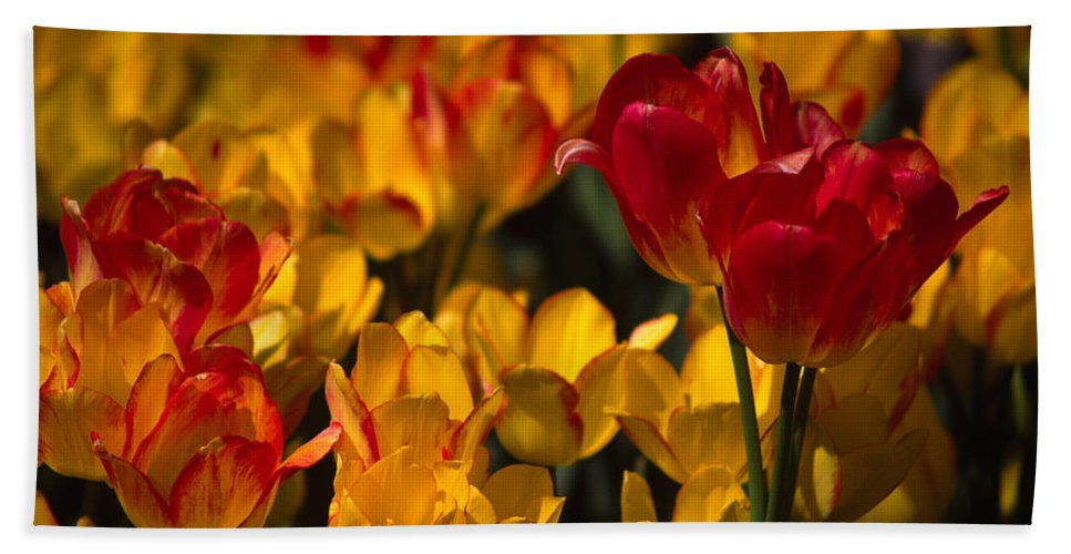 Tulip Hand Towel featuring the photograph Blazing Tulips by Michele Burgess
