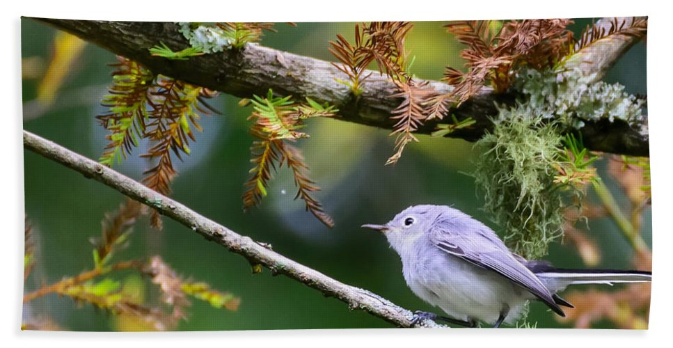 Blue-gray Gnatcatcher Hand Towel featuring the photograph Blue-gray Gnatcatcher In Conifer by Steve Samples