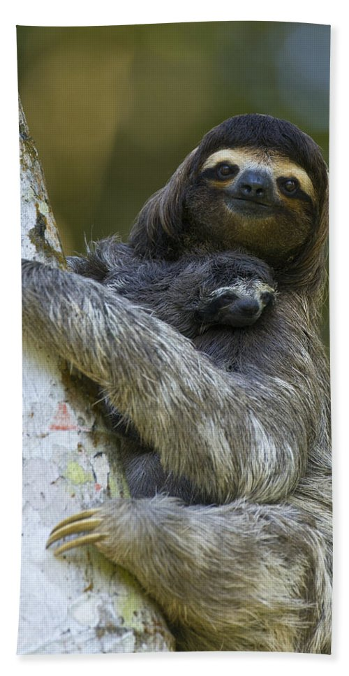 Mp Bath Towel featuring the photograph Brown-throated Three-toed Sloth by Suzi Eszterhas