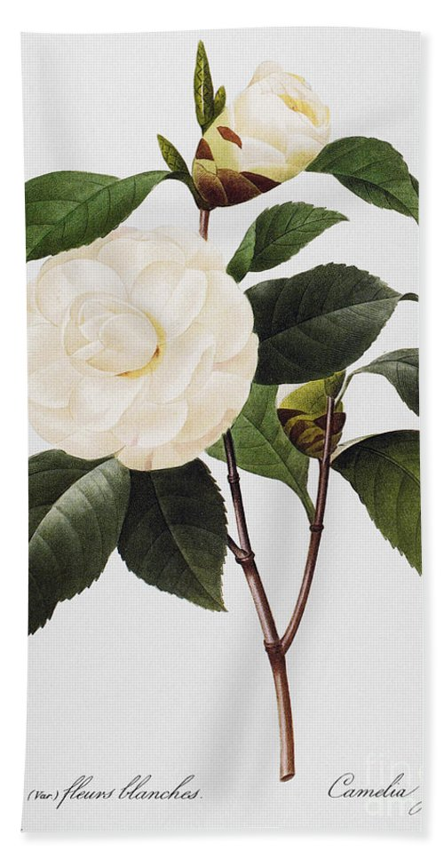 1833 Bath Sheet featuring the photograph Camellia, 1833 by Granger
