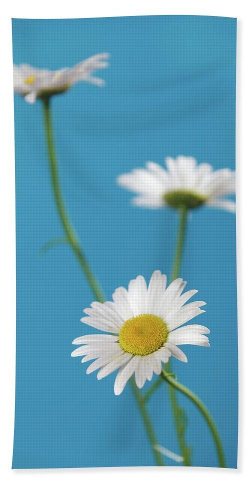 Blue Background Bath Sheet featuring the photograph Chamomile Bouquet by IPolyPhoto Art