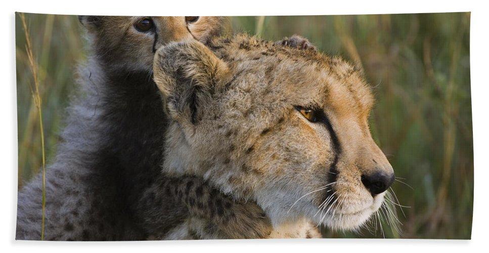 Mp Hand Towel featuring the photograph Cheetah Acinonyx Jubatus And Cub by Suzi Eszterhas
