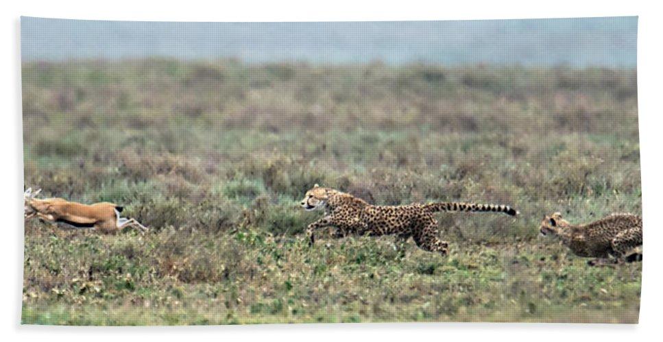 Photography Bath Sheet featuring the photograph Cheetah Acinonyx Jubatus Hunting by Panoramic Images