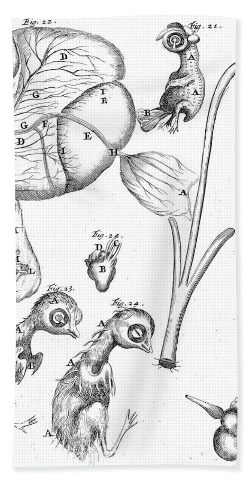 Historic Hand Towel featuring the photograph Chick Embryology, Malpighi, 1687 by Wellcome Images