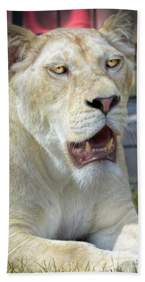 Lion Hand Towel featuring the photograph Circus Lion by LeeAnn McLaneGoetz McLaneGoetzStudioLLCcom