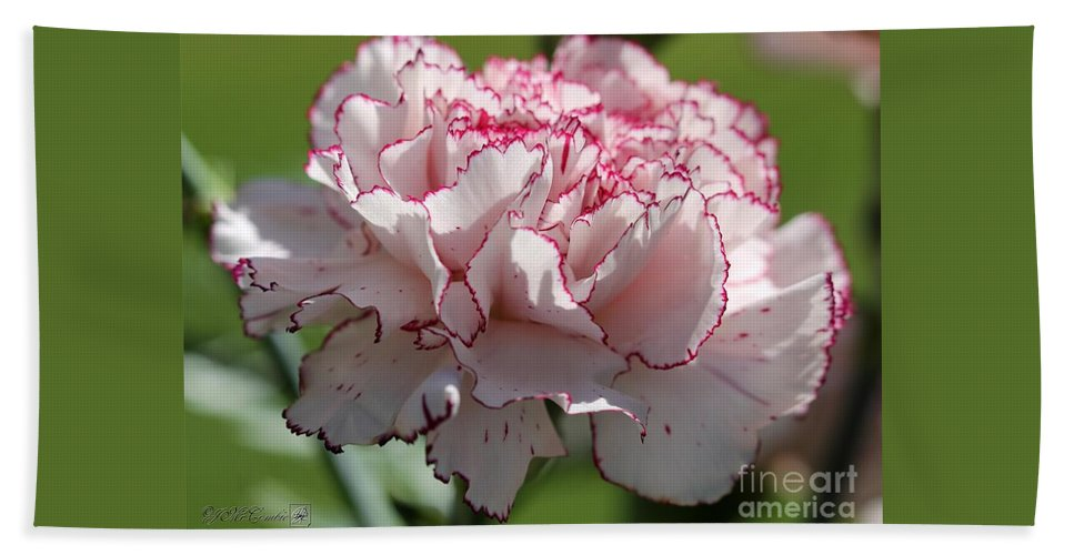 Mccombie Bath Sheet featuring the photograph Creamy White With Red Picotee Carnation by J McCombie