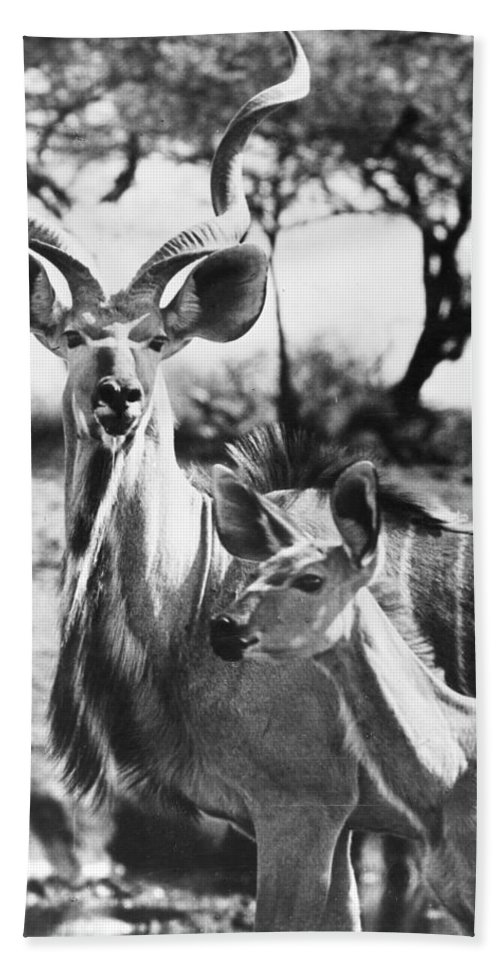 20th Century Bath Sheet featuring the photograph East Africa: Kudu by Granger