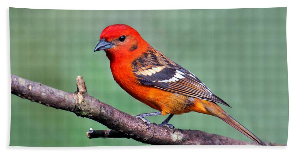 Photography Bath Sheet featuring the photograph Flame-colored Tanager Piranga Bidentata by Panoramic Images