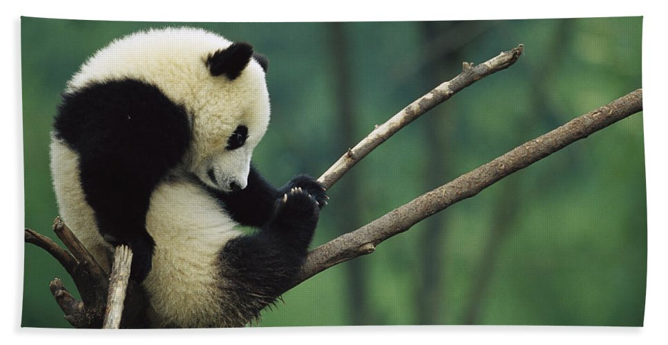Mp Hand Towel featuring the photograph Giant Panda Ailuropoda Melanoleuca Year by Cyril Ruoso