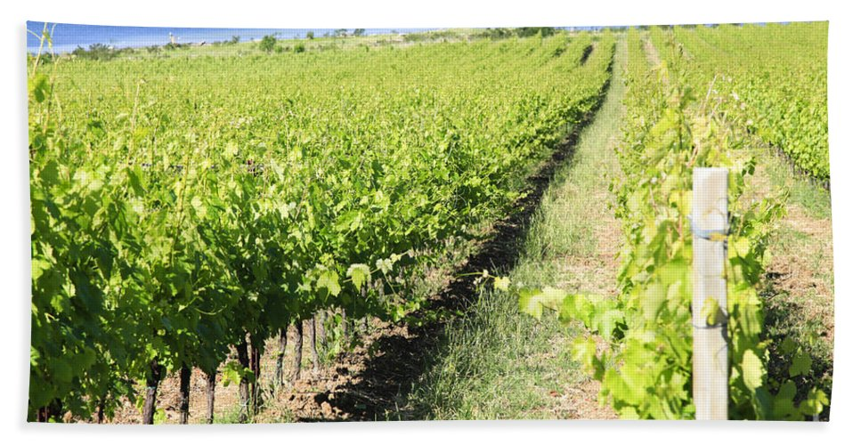 Grapevines Bath Sheet featuring the photograph Grapevines In A Vineyard by Vladi Alon