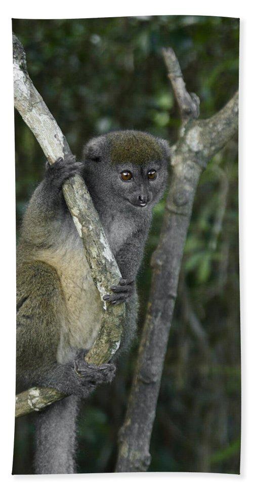 Madagascar Bath Sheet featuring the photograph Gray Bamboo Lemur by Michele Burgess