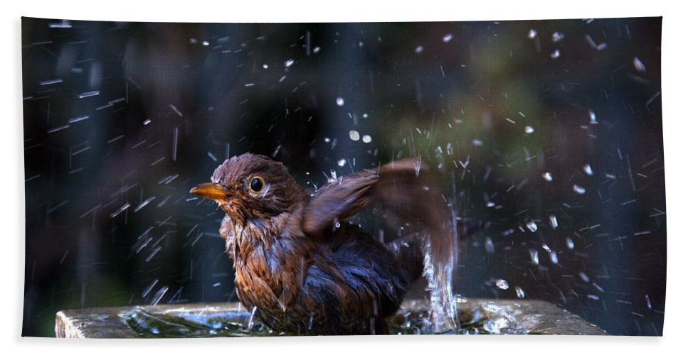 Blackbird Hand Towel featuring the photograph Juvenile Blackbird by Chris Day