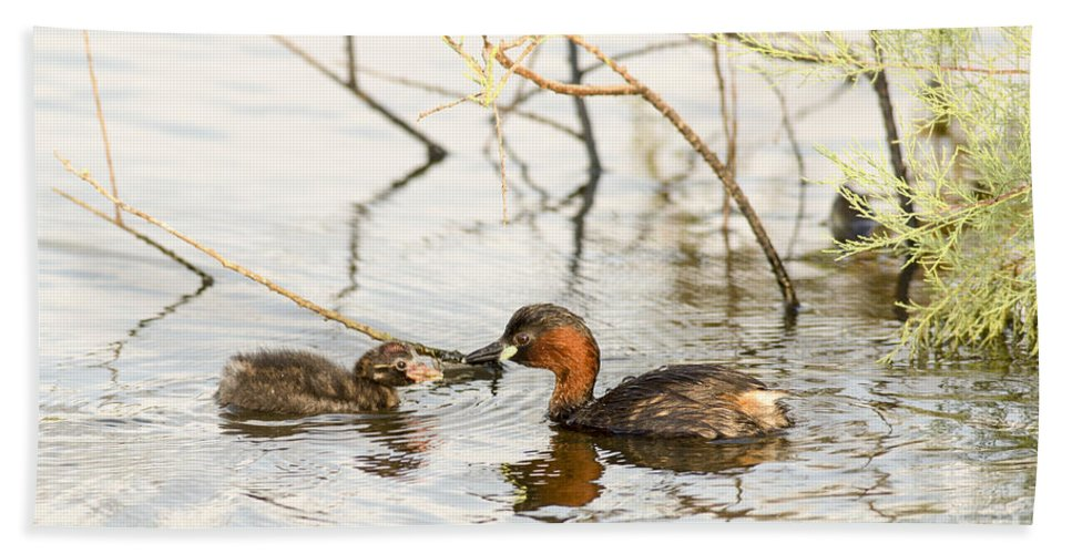 Duckling Bath Sheet featuring the photograph Little Grebe Tachybaptus Ruficollis by Alon Meir