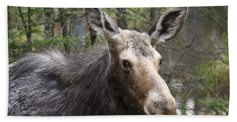 Moose Bath Towel featuring the photograph Moose - White Mountains New Hampshire Usa by Erin Paul Donovan