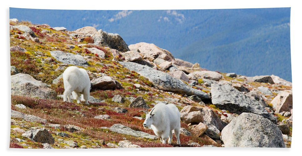 Goat Bath Sheet featuring the photograph Mountain Goats On Mount Bierstadt In The Arapahoe National Forest by Steve Krull