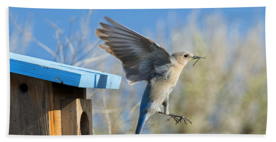Western Bluebird Hand Towel featuring the photograph Leaving The House by Mike Dawson