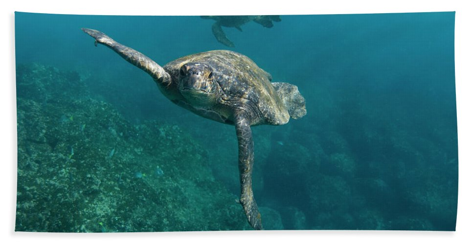 Mp Hand Towel featuring the photograph Pacific Green Sea Turtle Chelonia Mydas by Pete Oxford