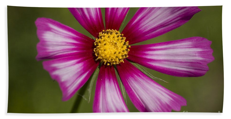 Pink Bath Sheet featuring the photograph Pink Cosmos by Jim And Emily Bush