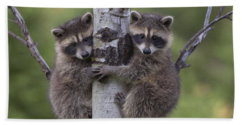 00176520 Bath Towel featuring the photograph Raccoon Two Babies Climbing Tree North by Tim Fitzharris