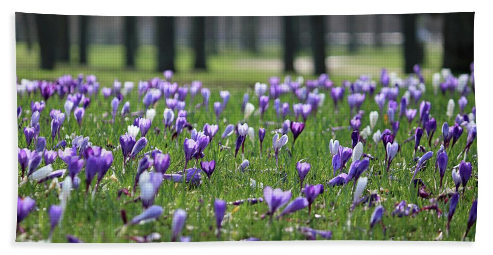 Spring Flowers Are In Bloom Such As These Crocuses. Bath Sheet featuring the photograph Spring Flowering Crocuses by Julia Gavin