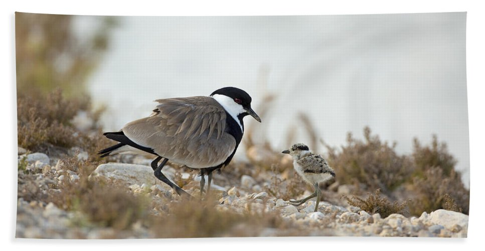 Chick Bath Sheet featuring the photograph Spur-winged Lapwing Vanellus Spinosus by Alon Meir