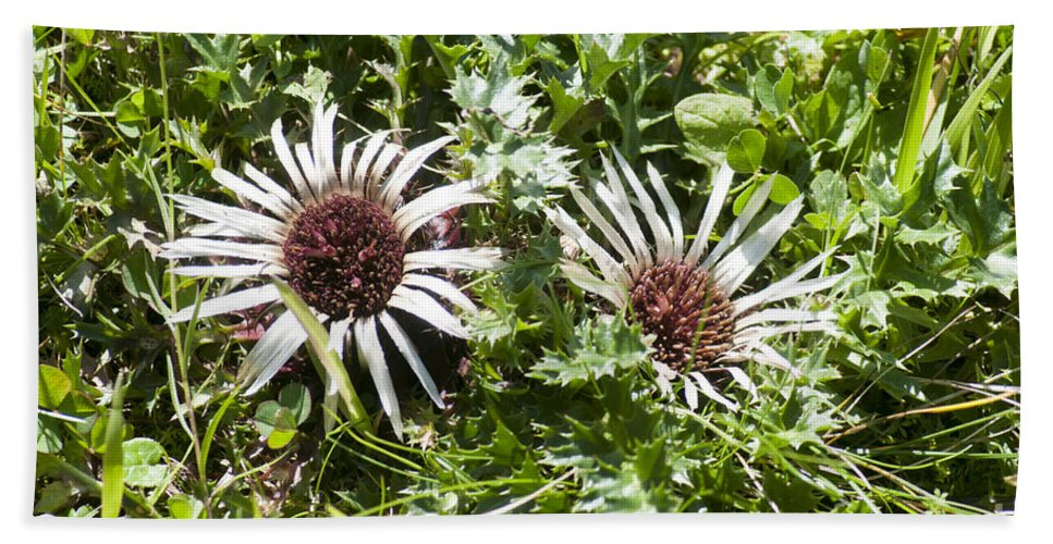Silver Thistle Hand Towel featuring the photograph Stemless Carline Thistle Carlina Acaulis by Ilan Rosen