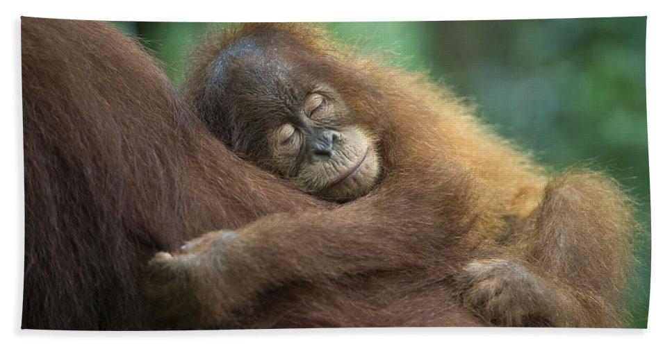 Mp Hand Towel featuring the photograph Sumatran Orangutan Pongo Abelii Two by Suzi Eszterhas