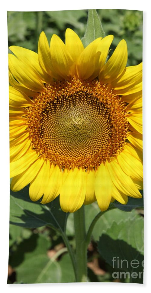 Sunflowers Bath Towel featuring the photograph Sunflower 09 by Amanda Barcon