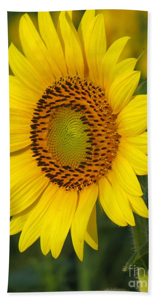 Sunflowers Hand Towel featuring the photograph Sunflower by Amanda Barcon