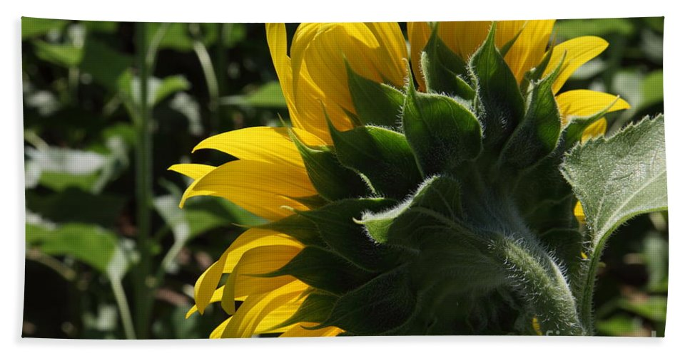 Sunflower Bath Sheet featuring the photograph Sunflower Series 09 by Amanda Barcon