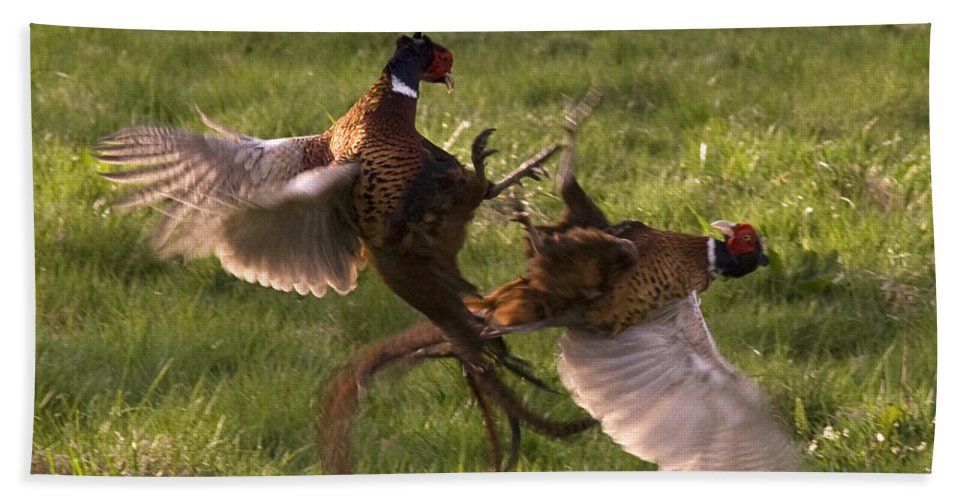 Pheasant Bath Sheet featuring the photograph The Sparring by Angel Ciesniarska