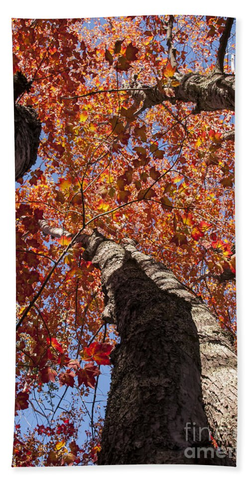 Acadia National Park Maine Parks Tree Trunks Maple Trees Leaf Leafs Autumn Colors Fall Color Foliage Bath Sheet featuring the photograph Tree Tops by Bob Phillips