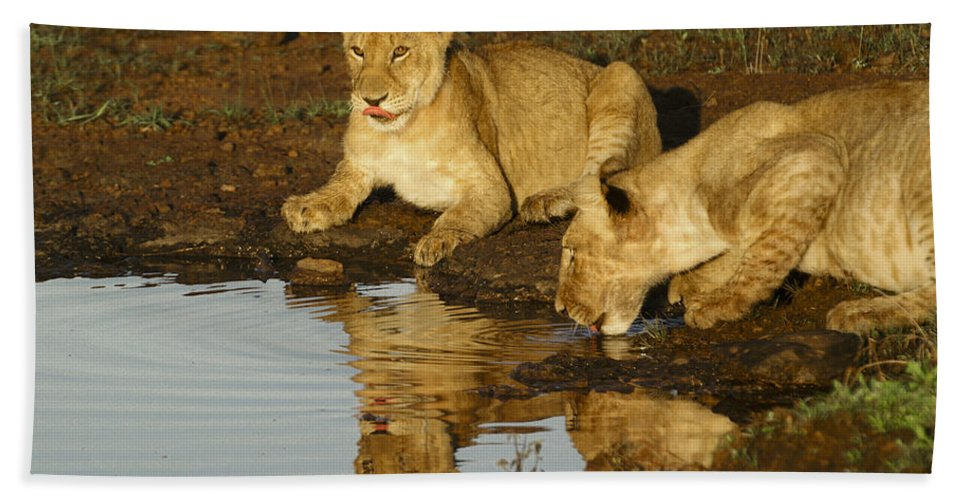 Lion Hand Towel featuring the photograph We're Thirsty by Michele Burgess