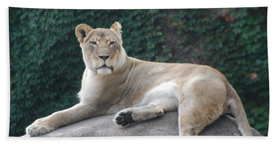 Animals Hand Towel featuring the photograph Zoo Lion by Jose Canales