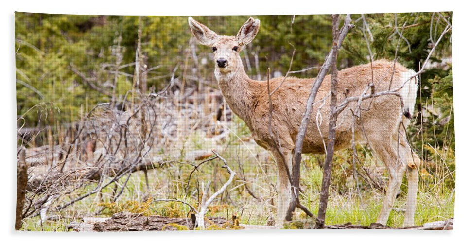 Deer Bath Sheet featuring the photograph Mule Deer In The Pike National Forest Of Colorado by Steve Krull