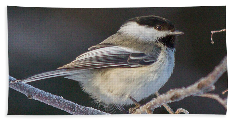 Chickadee Bath Sheet featuring the photograph Black-capped Chickadee by Dee Carpenter