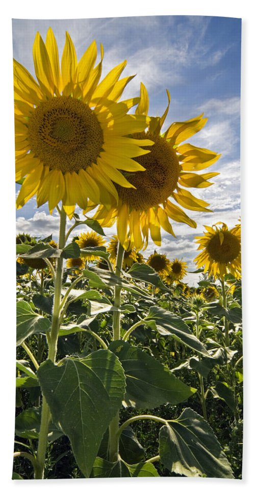 Common Sunflower Bath Sheet featuring the photograph 150403p078 by Arterra Picture Library