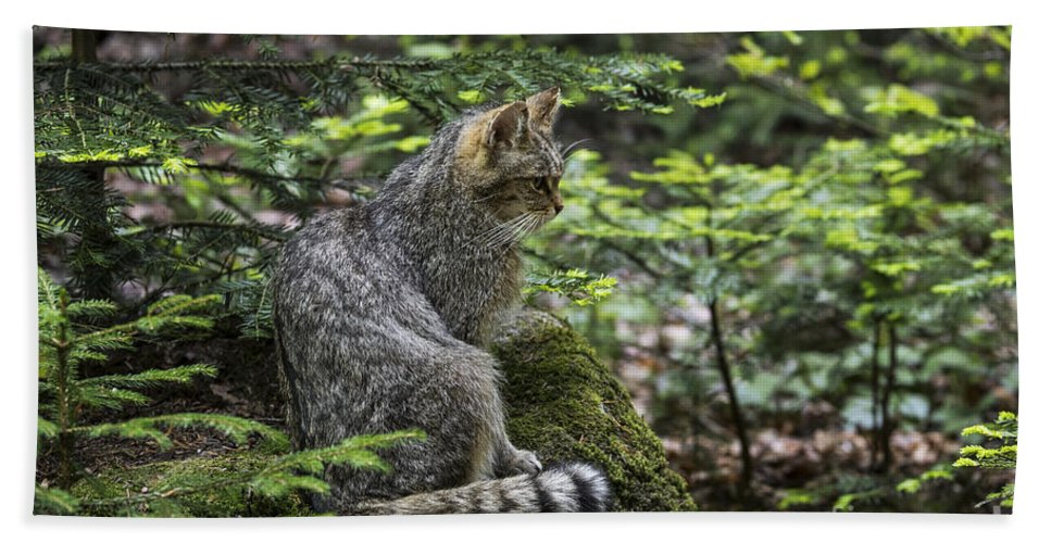 European Wildcat Bath Sheet featuring the photograph 150501p140 by Arterra Picture Library