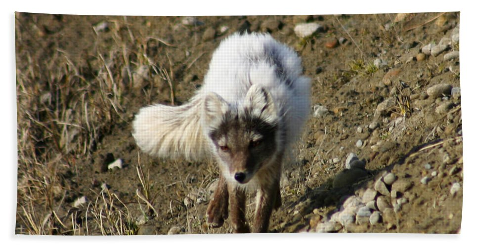 Arctic Fox Bath Towel featuring the photograph Arctic Fox by Anthony Jones