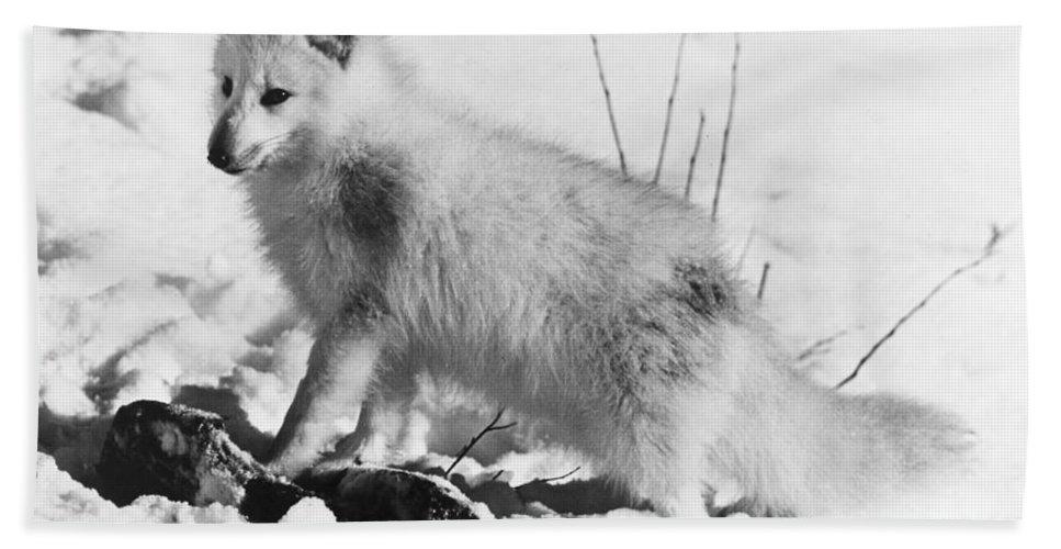 20th Century Bath Sheet featuring the photograph Arctic Fox by Granger