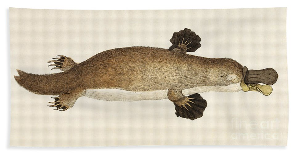 Historic Bath Sheet featuring the photograph Duck-billed Platypus Ornithorhynchus by Wellcome Images