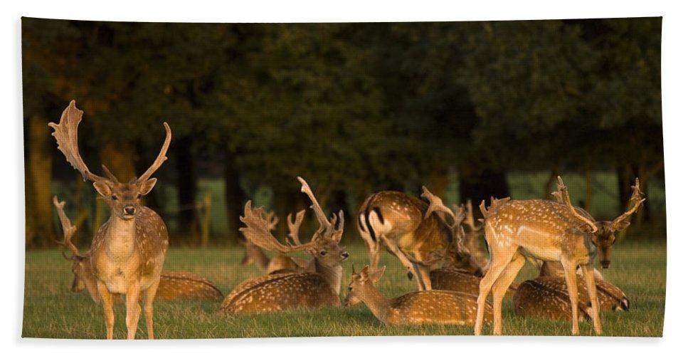 Fallow Deer Bath Towel featuring the photograph Fallow Deer by Angel Ciesniarska
